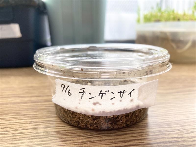 バーミキュライトに播種したチンゲンサイ