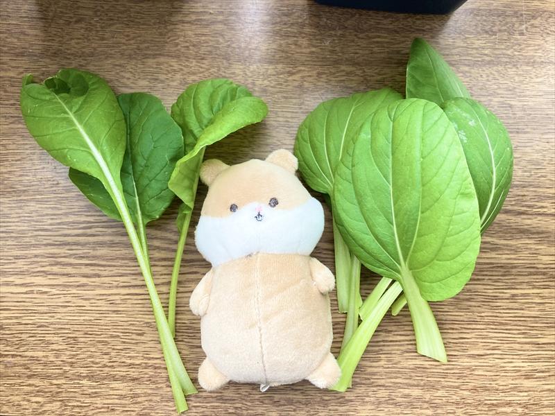 かきとり収穫した小松菜