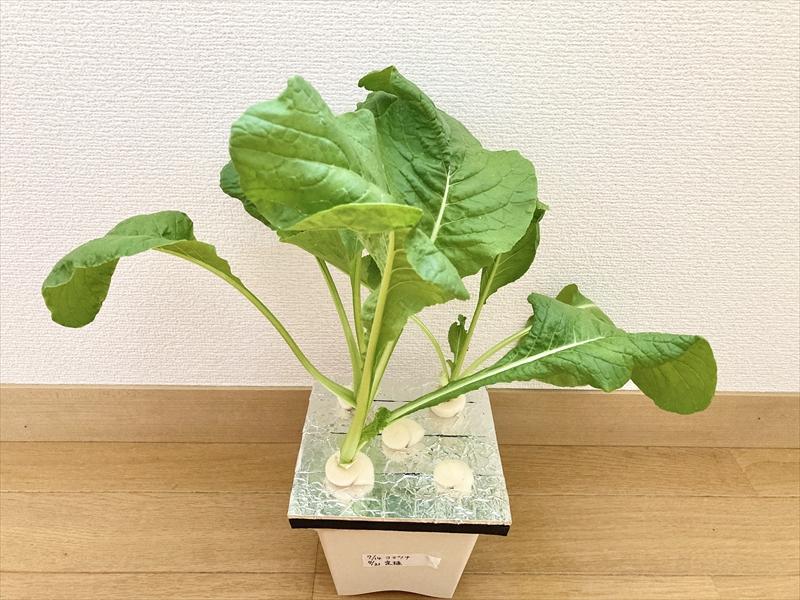 収穫間近の小松菜