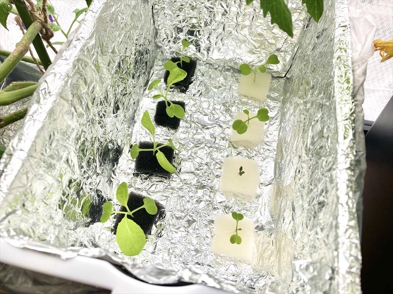 水耕栽培装置に植えた小松菜とルッコラ