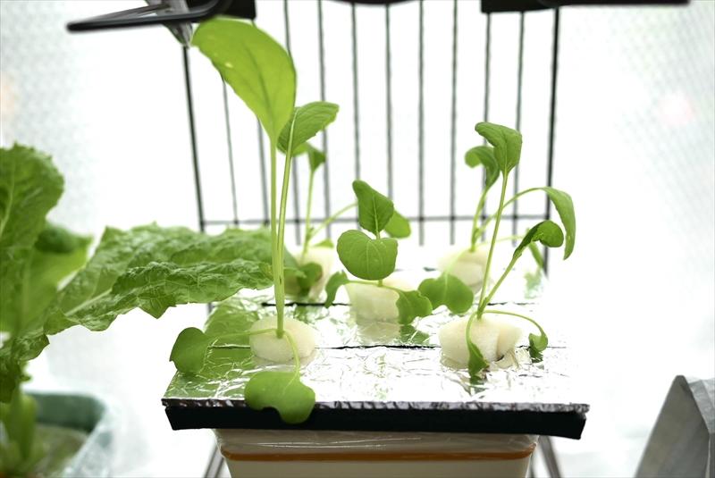 大きくなってきた小松菜